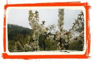 fleur arbre fruitier verger moncels