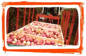 Récolte verger pomme toul